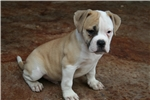 Bully blonde male 100% Johnson American Bulldog | Puppy at 13 weeks of age for sale