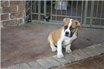 Picture of 100% Johnson American Bulldog male-great structure