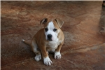 Picture of Bully athletic male 100% Johnson American Bulldog