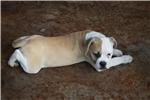Picture of Bully blonde male 100% Johnson American Bulldog