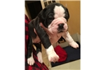 Picture of CHRISTMAS BULLDOG PUPPY!