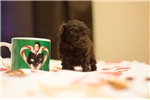 Picture of Brown Teacup Toy Poodle Male for Sale