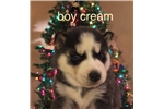 Picture of AKC Siberian Husky