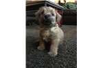 Picture of AKC Registered 8 week old Female Norfolk Terrier