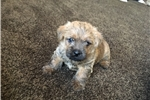 Picture of Norfolk Terrier Puppies for sale - AKC registered