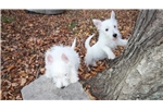 Picture of Westie puppies for sale in Ga
