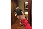 Picture of Beautiful Brindle female