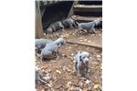 Picture of AKC Weimaraner Puppies