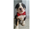 Greater Swiss Mountain Dog for sale
