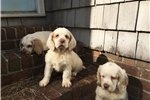 Picture of Maggie - AKC Clumber Spaniel