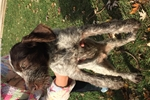 Picture of MALE GERMAN WIREHAIRED PUPPY FOR SALE