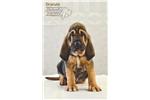 Picture of BLOODHOUND PUPPIES FOR SALE!!!