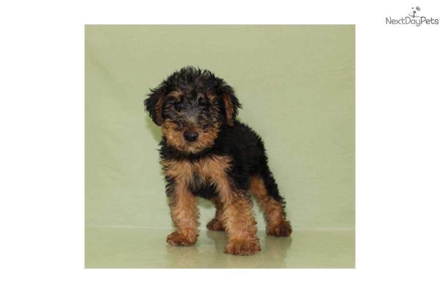 Price Of Welsh Terrier Welsh Terrier Puppy * ...