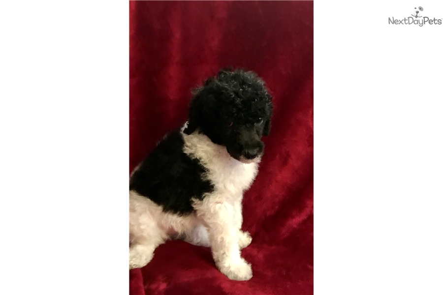 Standard Poodle Puppies For Sale In Oklahoma City