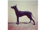 Picture of Standard xolo hairless