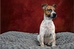 Picture of Zeke the Australian Cattle dog/Shepherd mix