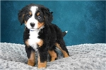 Picture of Barnsworth The Bernese Mountain Dog`