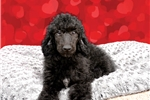 Picture of Queenie the Poodle!