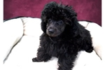 Picture of Daphne the Poodle!