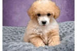 Picture of Luna the Poodle!