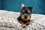 Picture of Shawn the Silky Terrier