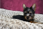Picture of Sandy the Silky Terrier