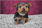 Picture of Lady The Yorkie!