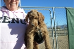Picture of Beautiful standard poodle puppy