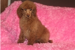 Miss Candy | Puppy at 15 weeks of age for sale