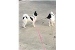 Picture of Papillon male $400