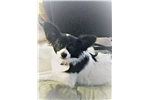 Picture of Papillon $500 Female Puppy