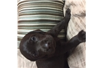 Picture of Female Puppy - 1