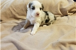Picture of Blue Merle Female blue eyed