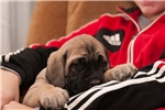 Picture of a Mastiff Puppy