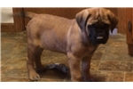 AKC English Mastiff Female