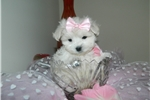 Picture of Maltese, Sweet Baby- dolls