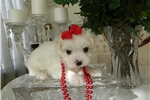 Picture of Maltese , BEAUTIFUL Babies  Boys
