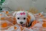Picture of Maltese,  Superb Quality * Super Sweet  *