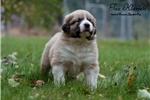 Picture of Caucasian shepherd puppy
