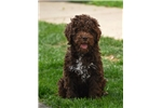 Lagotto Romagnolo - beautiful boy | Puppy at 17 weeks of age for sale
