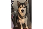 Picture of Black collar - AKC Alaskan Malamute Puppy