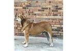Picture of a Spanish Mastiff Puppy
