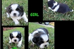 Picture of Beautiful Black & White Female Pekingese Puppy