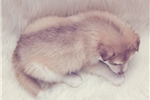 Picture of Female Alaskan Malamute puppy born January 7th