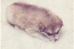 Picture of Male Alaskan Malamute puppy born January 7th