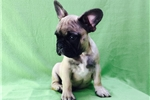 Picture of Cute Male French Bulldog