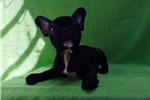 Picture of Adorable Female French Bulldog