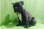 Picture of Adorable Male French Bulldog