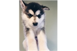 Picture of AKC Alaskan Malamute Puppy- Iseult