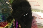 Picture of F1 Shepadoodle Female